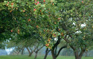 Pomarada